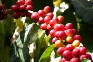 Economia: safra de café em 2014 pode chegar a 50,15 milhões de sacas