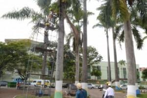 Manhuaçu: Defesa Civil inicia limpeza das palmeiras