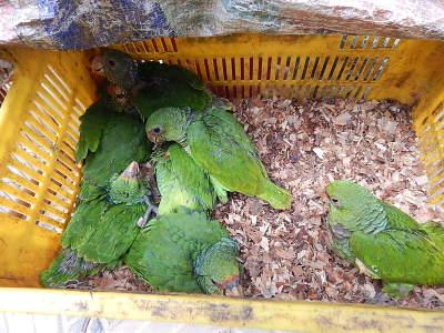 papagaios-apreendidos-mutum-2