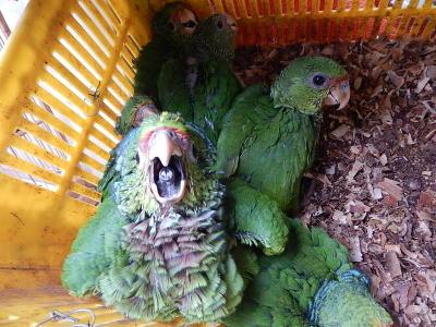 papagaios-apreendidos-mutum