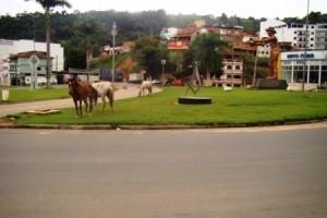 Manhuaçu: Animais soltos, um velho problema da cidade