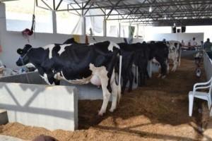 Manhuaçu: Concurso leiteiro acontece na Ponte da Aldeia