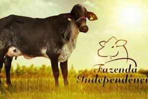 Fazenda Independência: Da tradição à evolução do melhoramento genético com as Fazendas do BASA