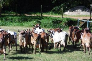 Aferições de Janeiro 2017 nas Fazendas do BASA comprovam a eficiência produtiva de seu rebanho
