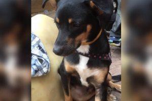 Cão-herói salva família de incêndio no prédio de SP