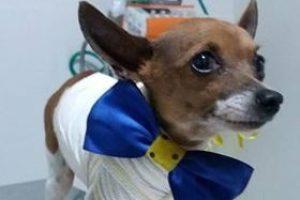 Cãozinho vítima de maus tratos se recupera bem no hospital veterinário