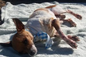 """Pele de """"Baruk"""" sofre rejeição e veterinários mudam protocolo de tratamento"""