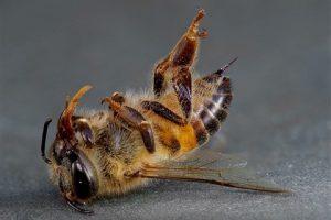 As abelhas estão sendo drogadas pelos agrotóxicos