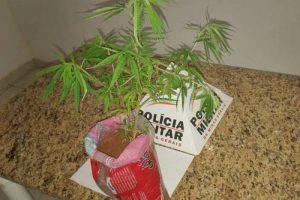 Pé de maconha é localizado em Santana do Manhuaçu