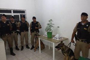 PM apreende pés de maconha em Santana do Manhuaçu