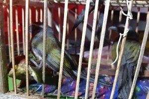 Região: Pássaros e armadilhas são apreendidos após abordagem a ônibus