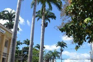 Manhuaçu: Secretaria de Agricultura inicia poda das palmeiras