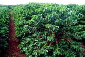 Produção de café em Minas Gerais deve cair 43%